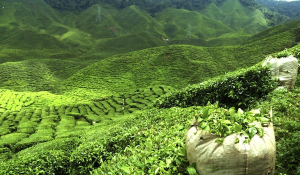greaves_tea_plantation_hotels_assam_credit_istock_thinkstock.jpg