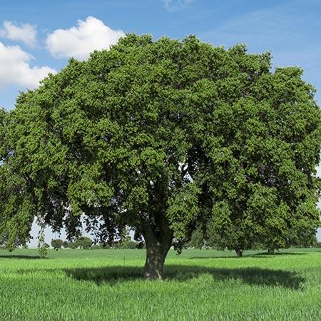 Live-Oak-Tree-450w.jpg