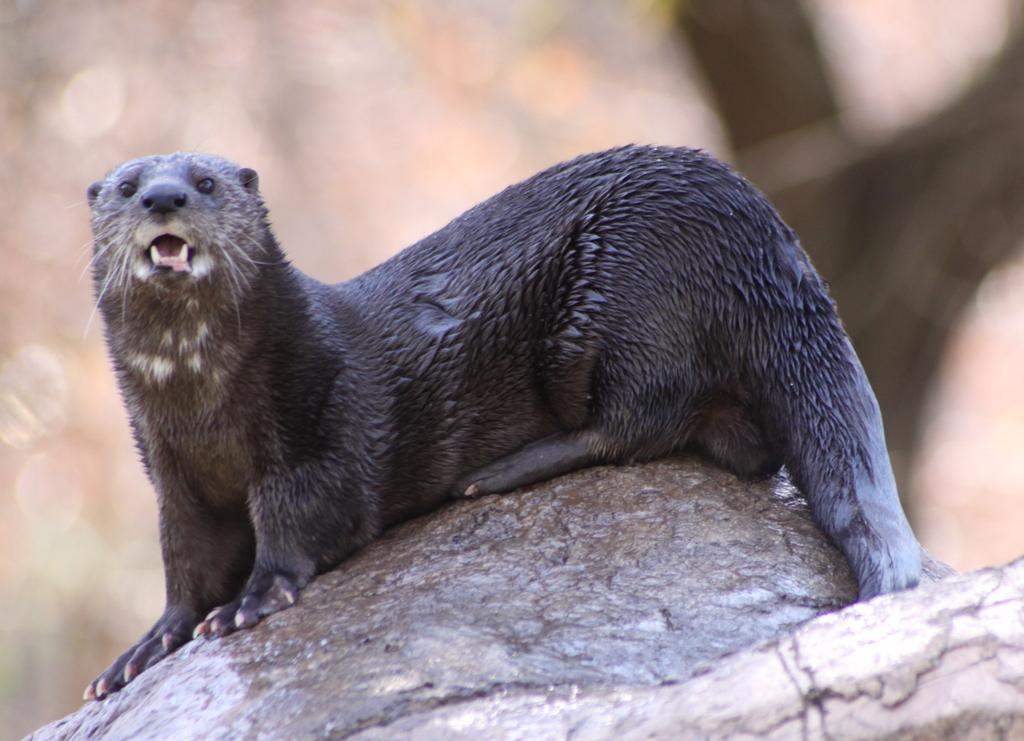 Spotted-necked otter.jpg