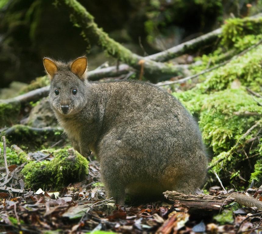 Tasmanian Pademelon.jpg