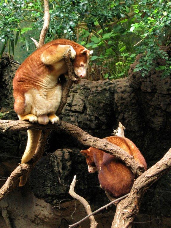 Tree kangaroos.jpg